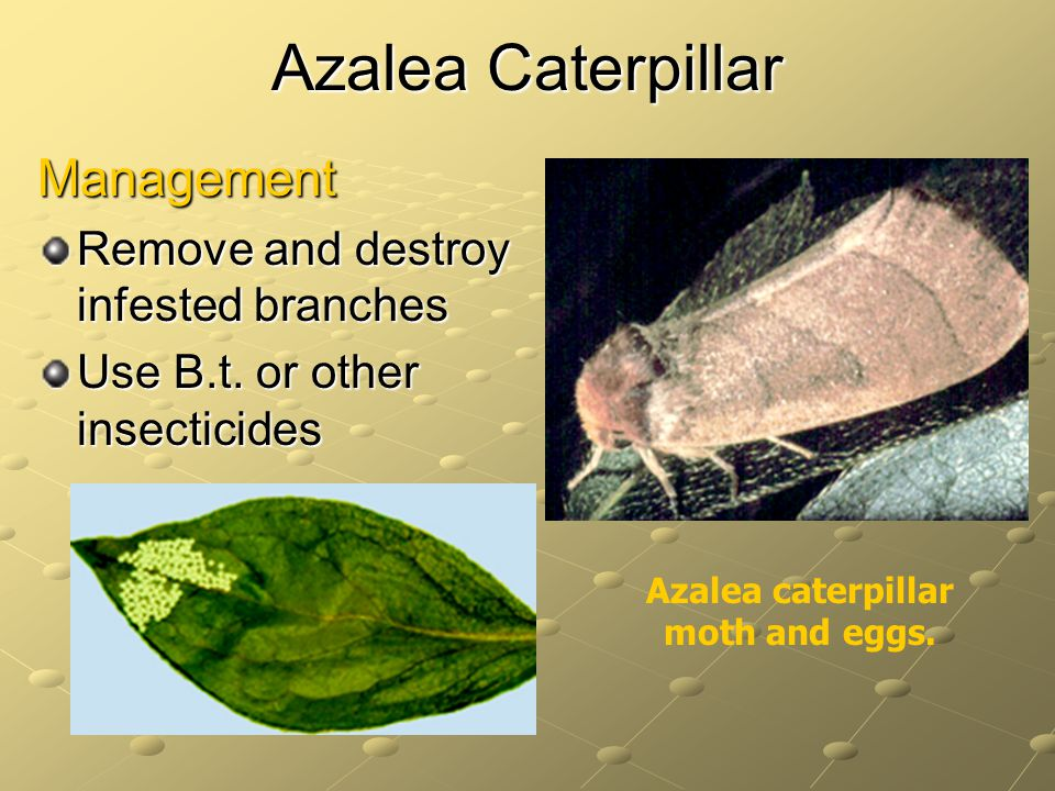 Azalea caterpillar moth and eggs.