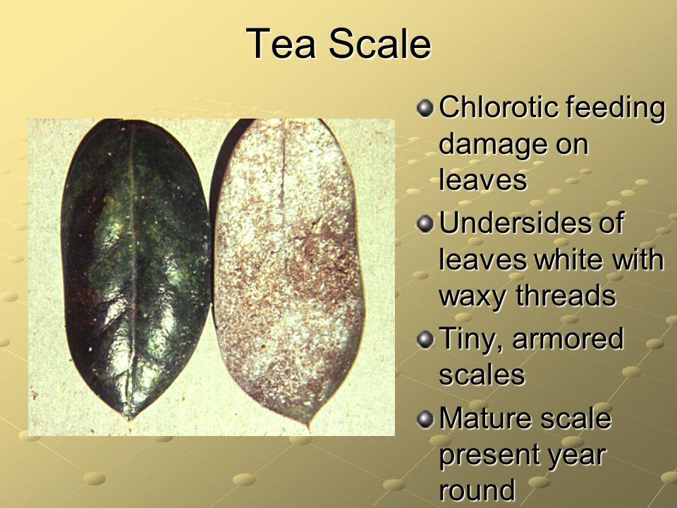 Tea Scale Chlorotic feeding damage on leaves