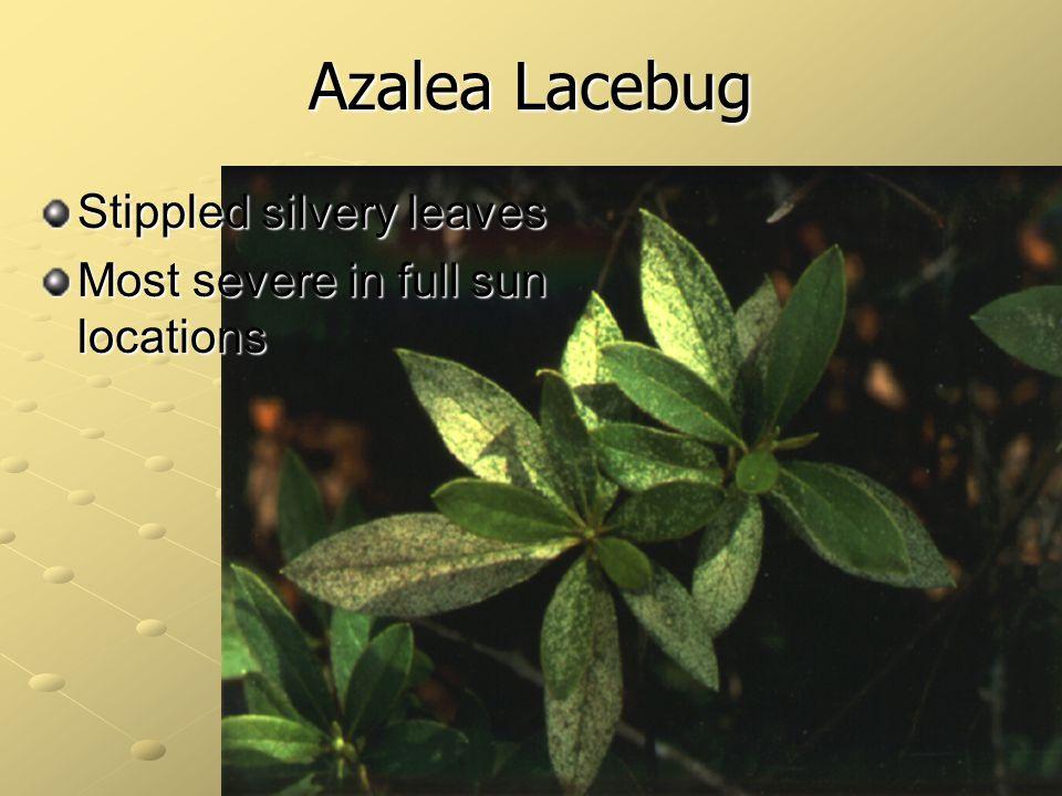 Azalea Lacebug Stippled silvery leaves