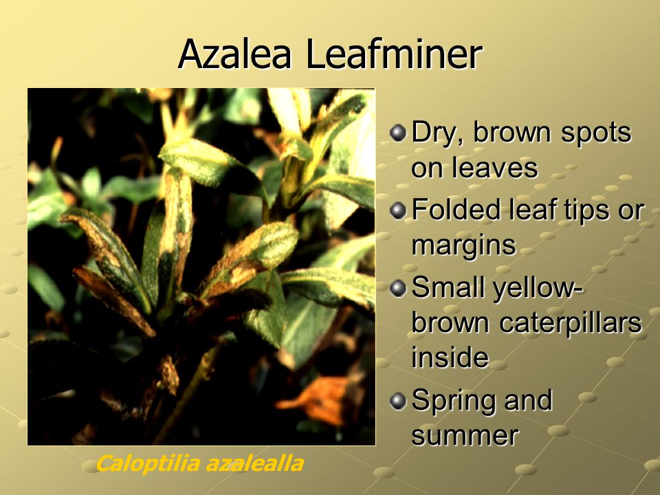 Azalea Leafminer Dry, brown spots on leaves