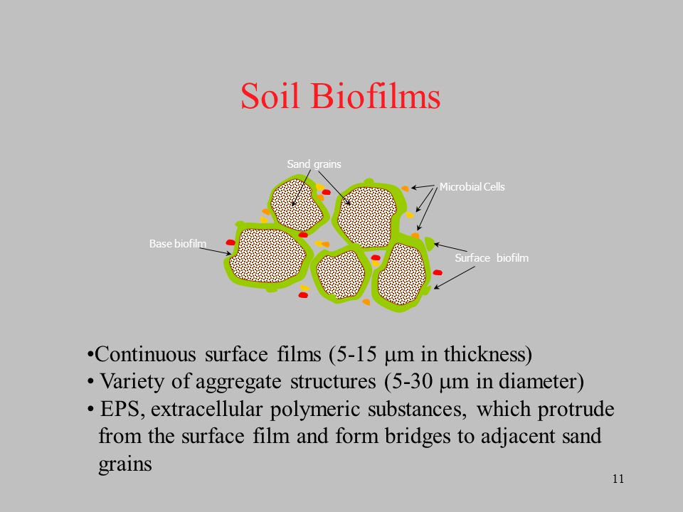 Soil Biofilms Continuous surface films (5-15 m in thickness)