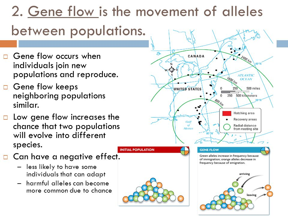 2. Gene flow is the movement of alleles between populations.