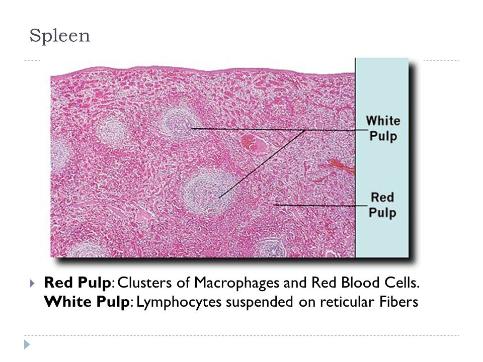 SpleenRed Pulp: Clusters of Macrophages and Red Blood Cells.