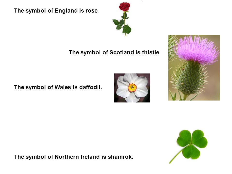 The symbol of England is rose