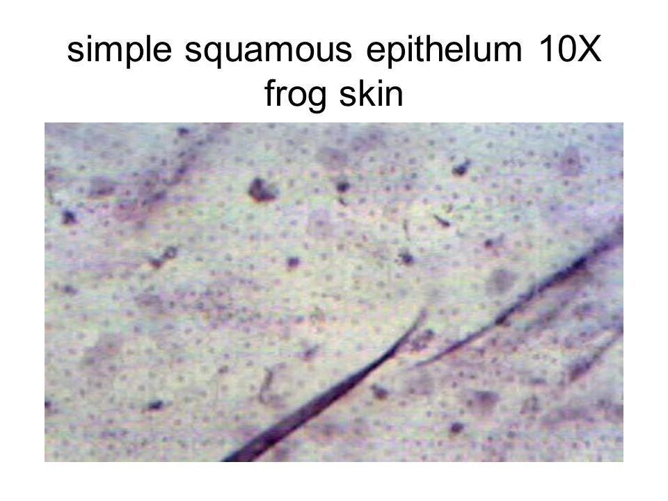 simple squamous epithelum 10X frog skin