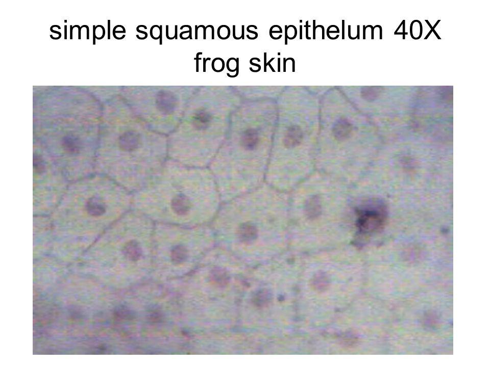 simple squamous epithelum 40X frog skin