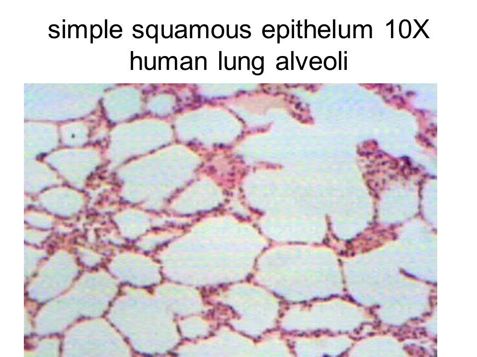 simple squamous epithelum 10X human lung alveoli