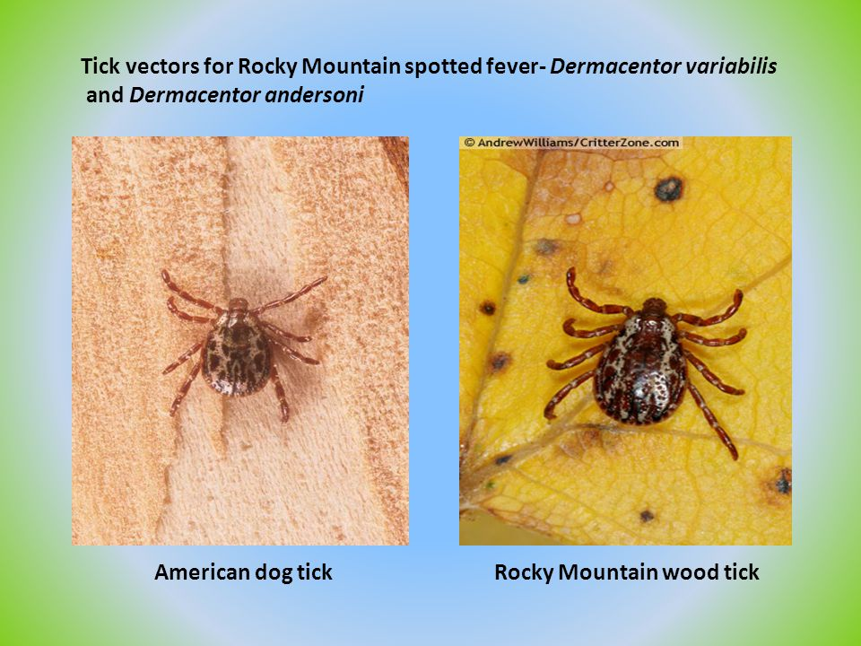 Tick vectors for Rocky Mountain spotted fever- Dermacentor variabilis and Dermacentor andersoni