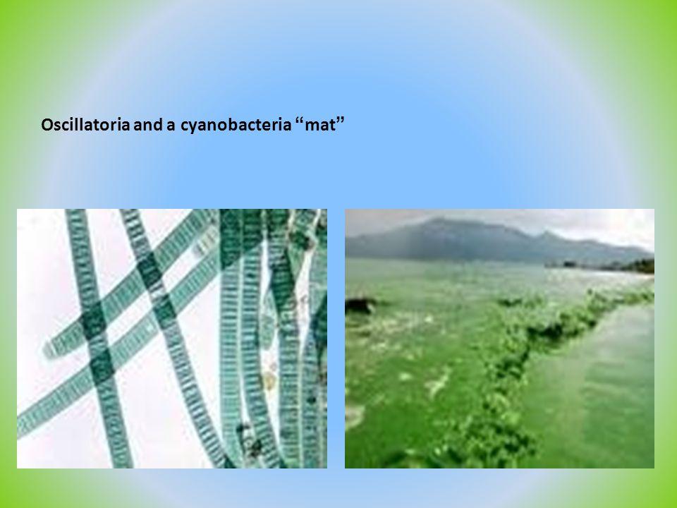 Oscillatoria and a cyanobacteria mat