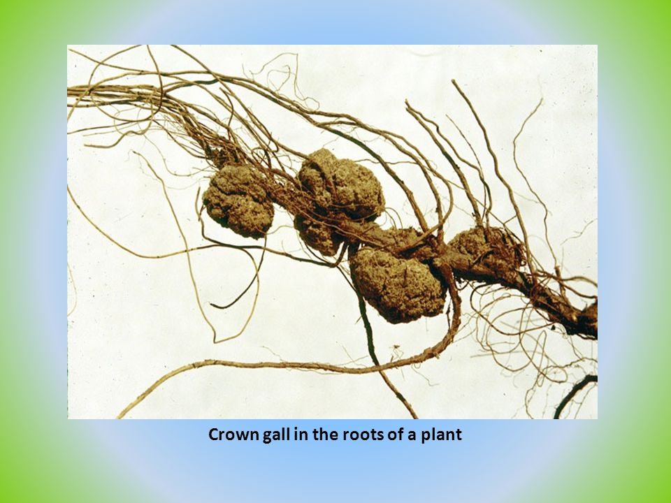 Crown gall in the roots of a plant