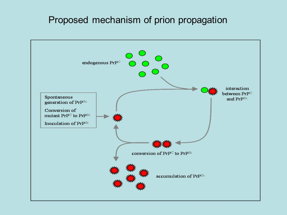 Proposed mechanism of prion propagation