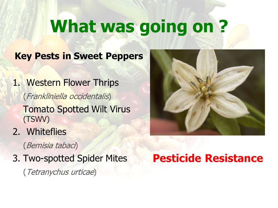 Key Pests in Sweet Peppers