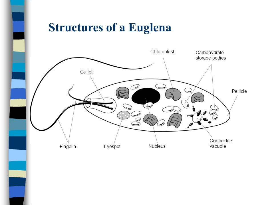 Structures of a Euglena