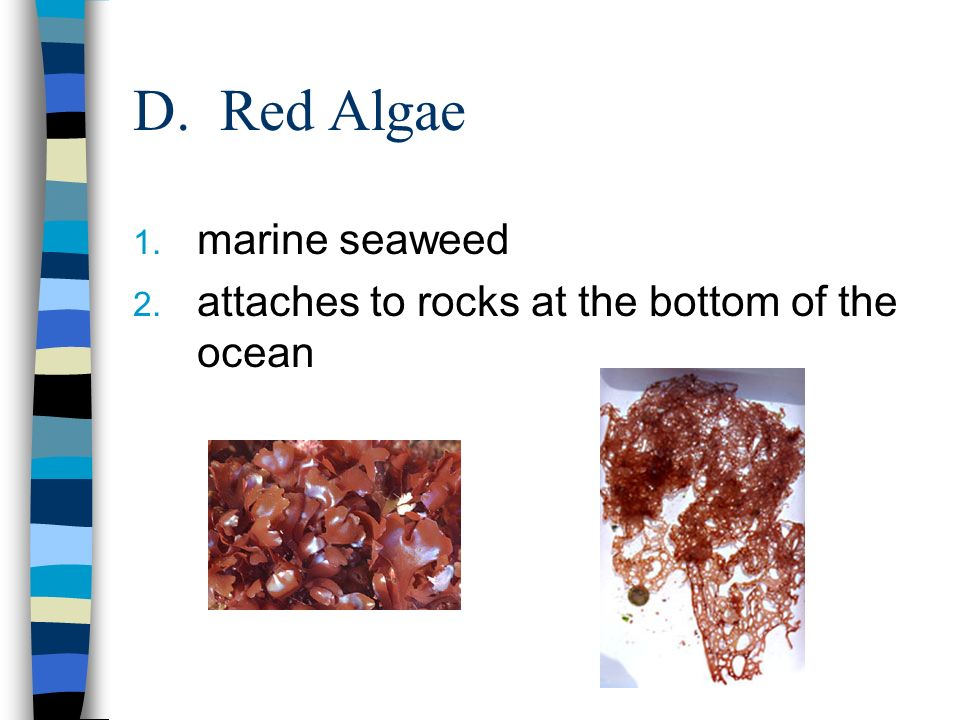 D. Red Algae marine seaweed