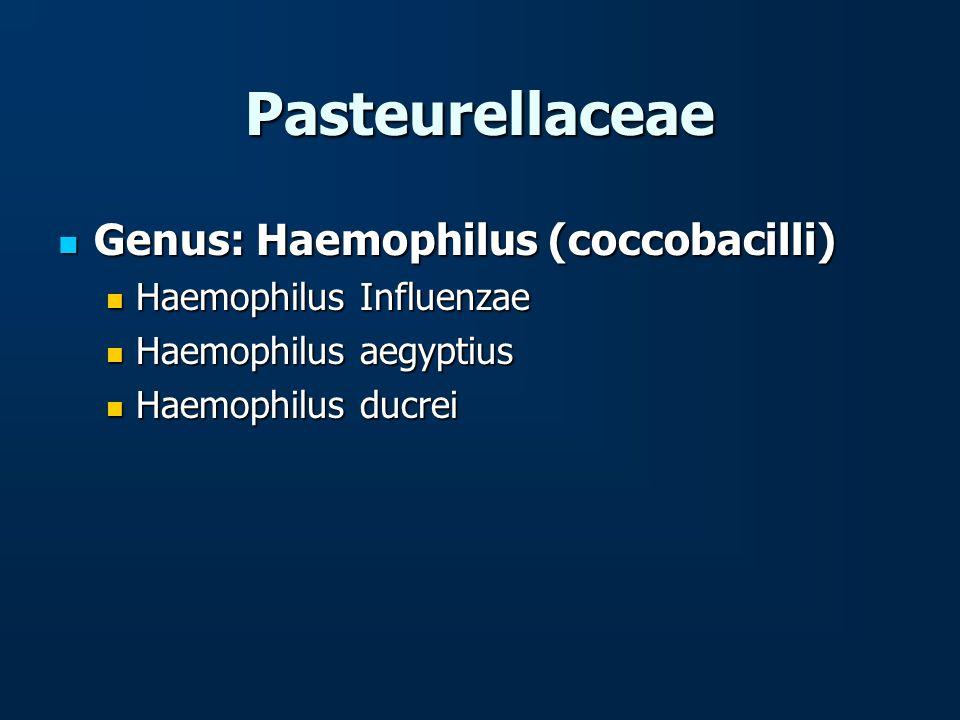 Pasteurellaceae Genus: Haemophilus (coccobacilli)