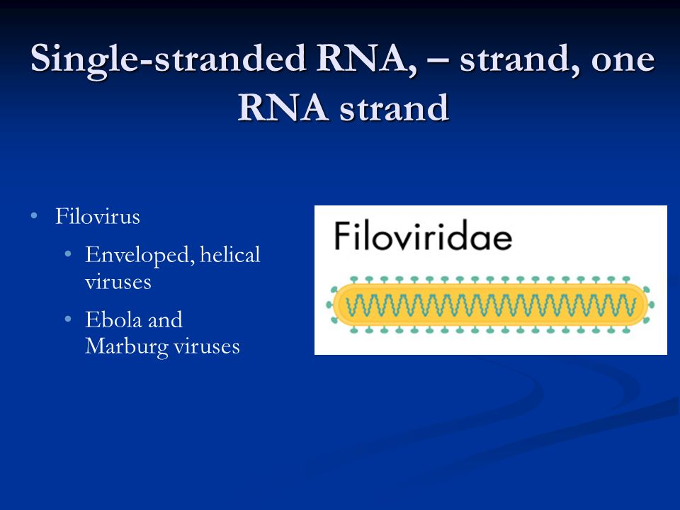 Single-stranded RNA, – strand, one RNA strand