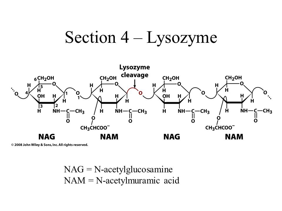 Section 4 – Lysozyme NAG = N-acetylglucosamine