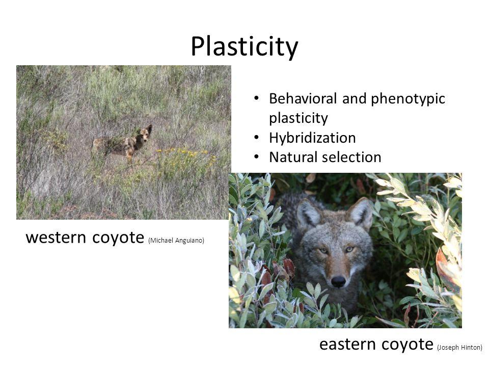 Plasticity western coyote (Michael Anguiano)