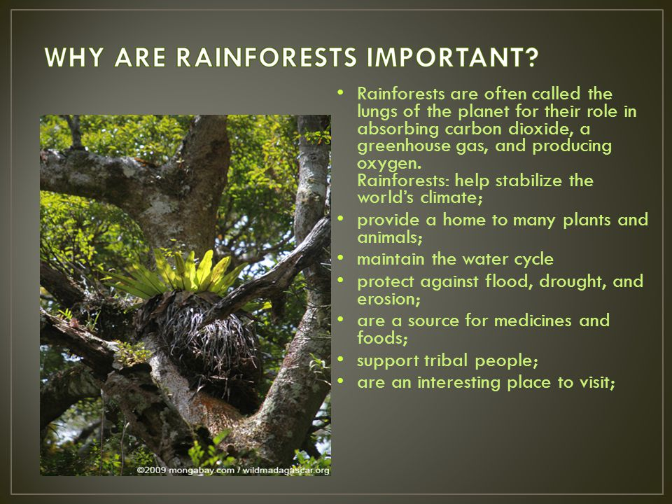 Rainforests are often called the lungs of the planet for their role in absorbing carbon dioxide, a greenhouse gas, and producing oxygen. Rainforests: help stabilize the world's climate;