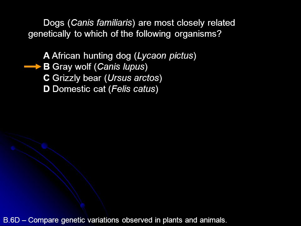 A African hunting dog (Lycaon pictus) B Gray wolf (Canis lupus)