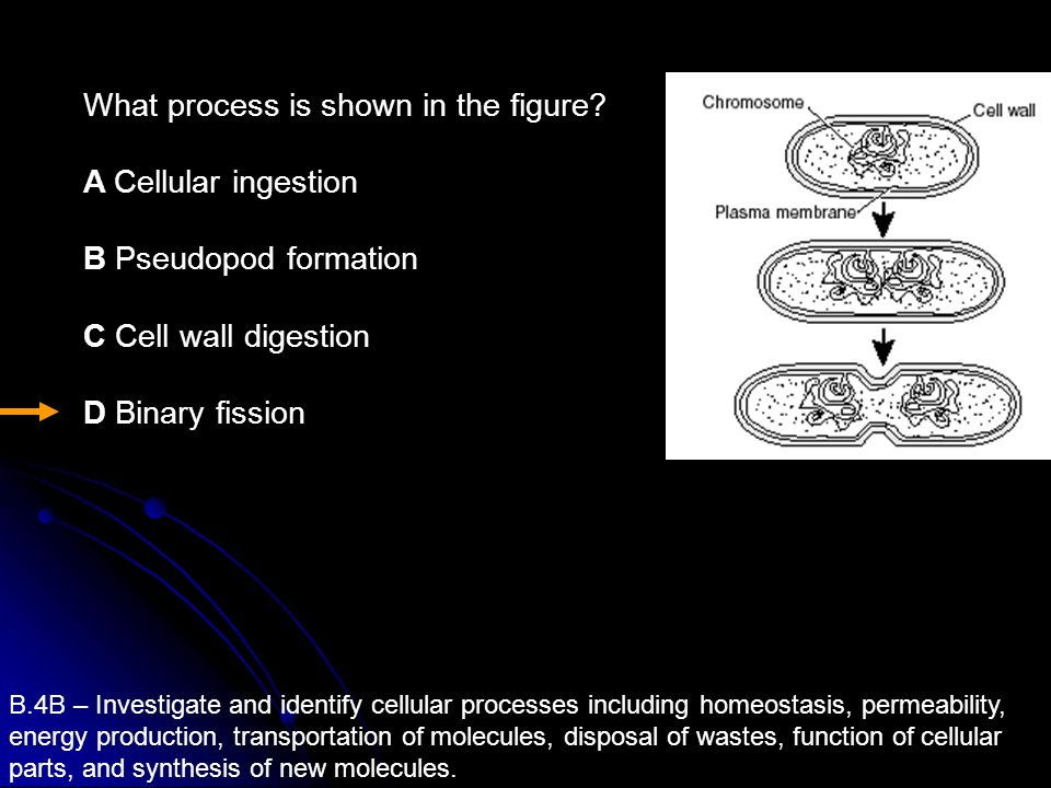 What process is shown in the figure A Cellular ingestion
