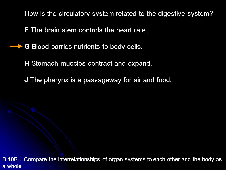 How is the circulatory system related to the digestive system
