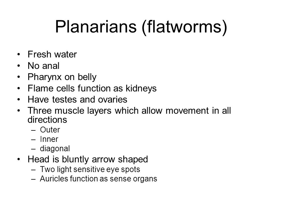 Planarians (flatworms)