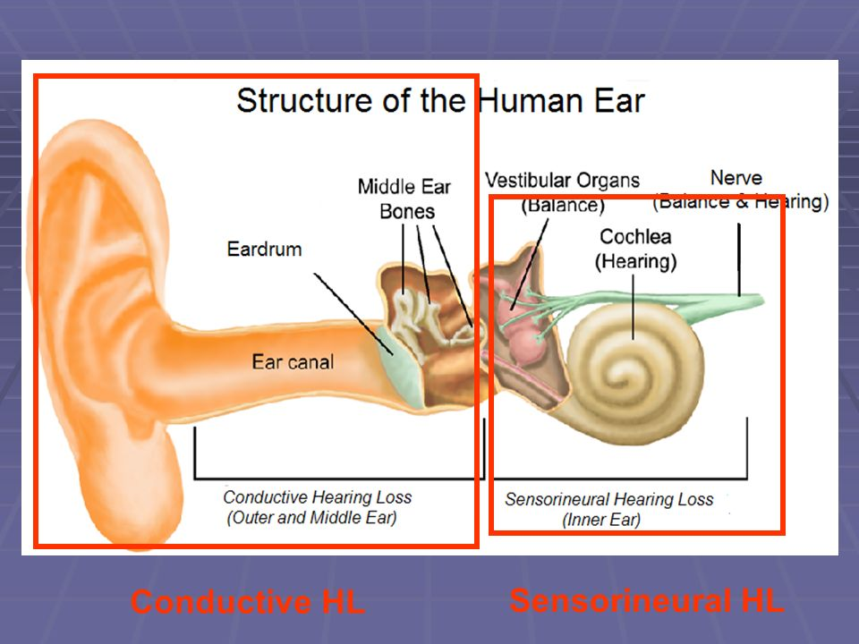 Structure of the Ear Conductive HL Sensorineural HL