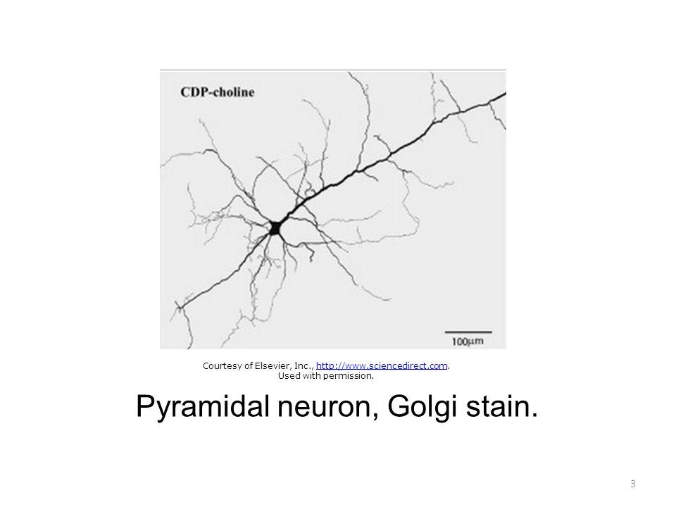 Pyramidal neuron, Golgi stain.