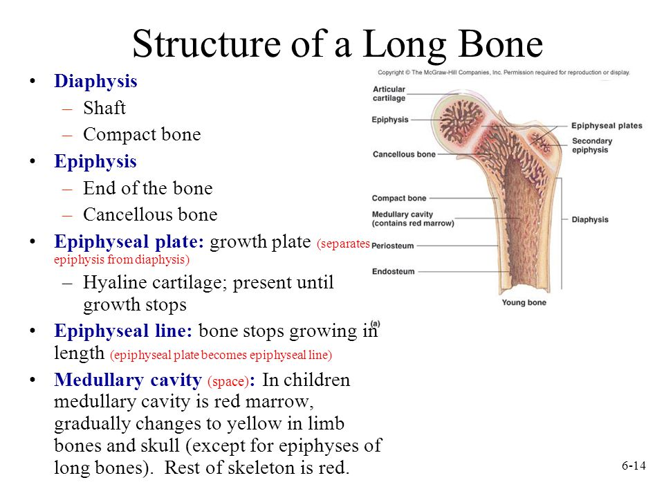 Structure of a Long Bone