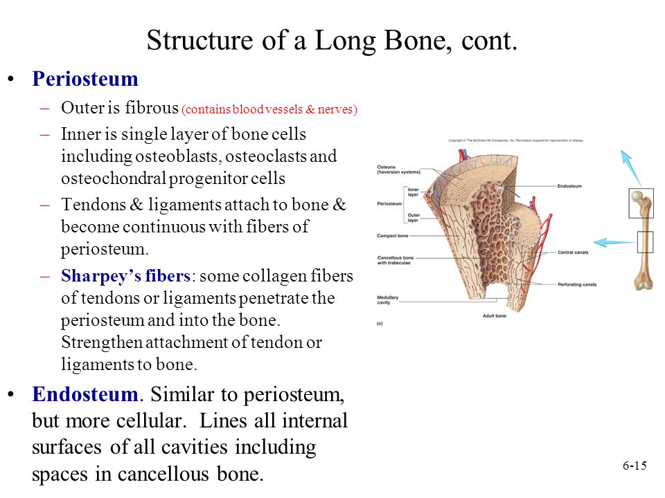 Structure of a Long Bone, cont.