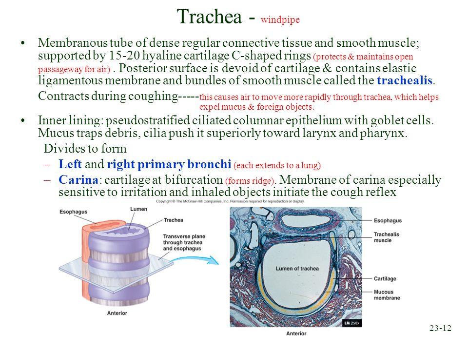 Trachea - windpipe