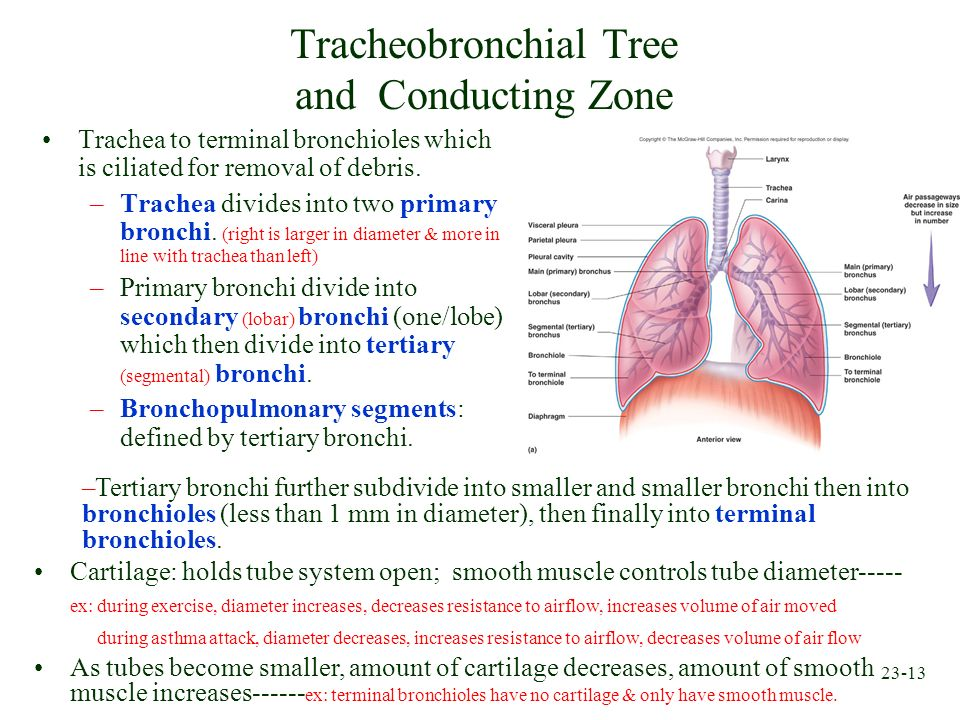 Tracheobronchial Tree and Conducting Zone