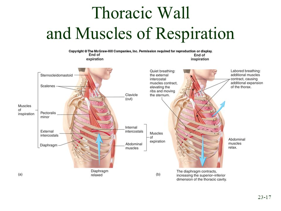 Thoracic Wall and Muscles of Respiration