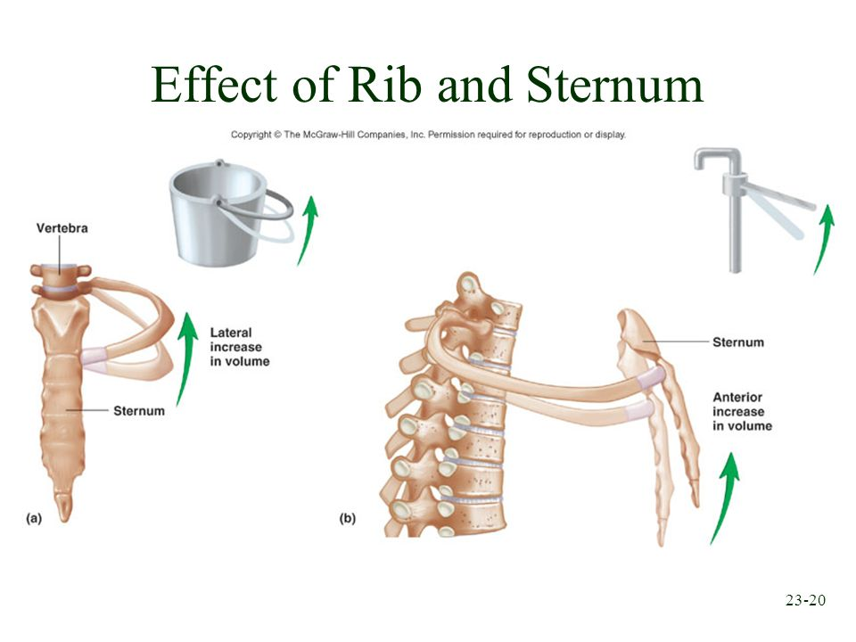 Effect of Rib and Sternum