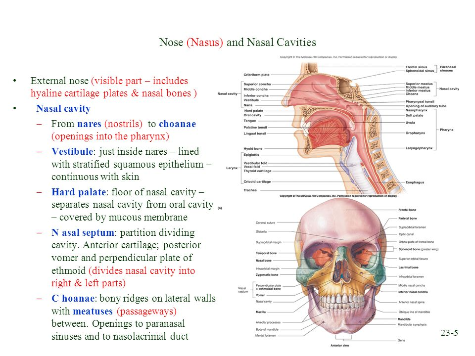 Chapter 23 respiratory system ppt video online download for Floor of nasal cavity