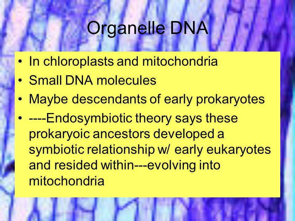 Organelle DNA In chloroplasts and mitochondria Small DNA molecules