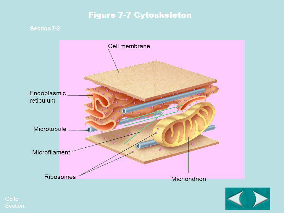 Figure 7-7 Cytoskeleton Cell membrane Endoplasmic reticulum