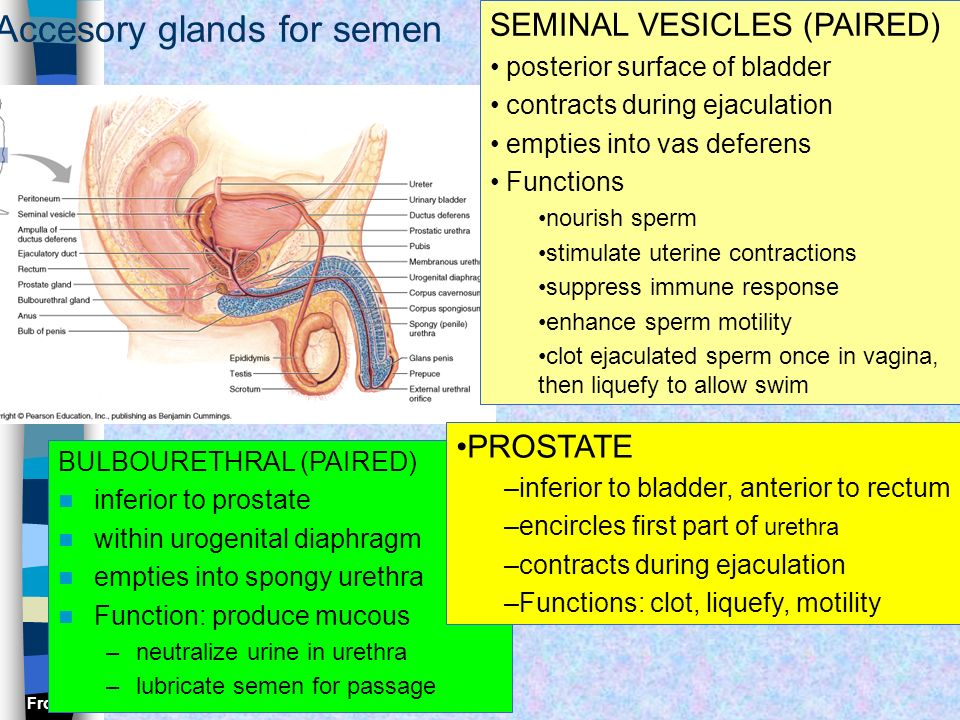 Accesory glands for semen