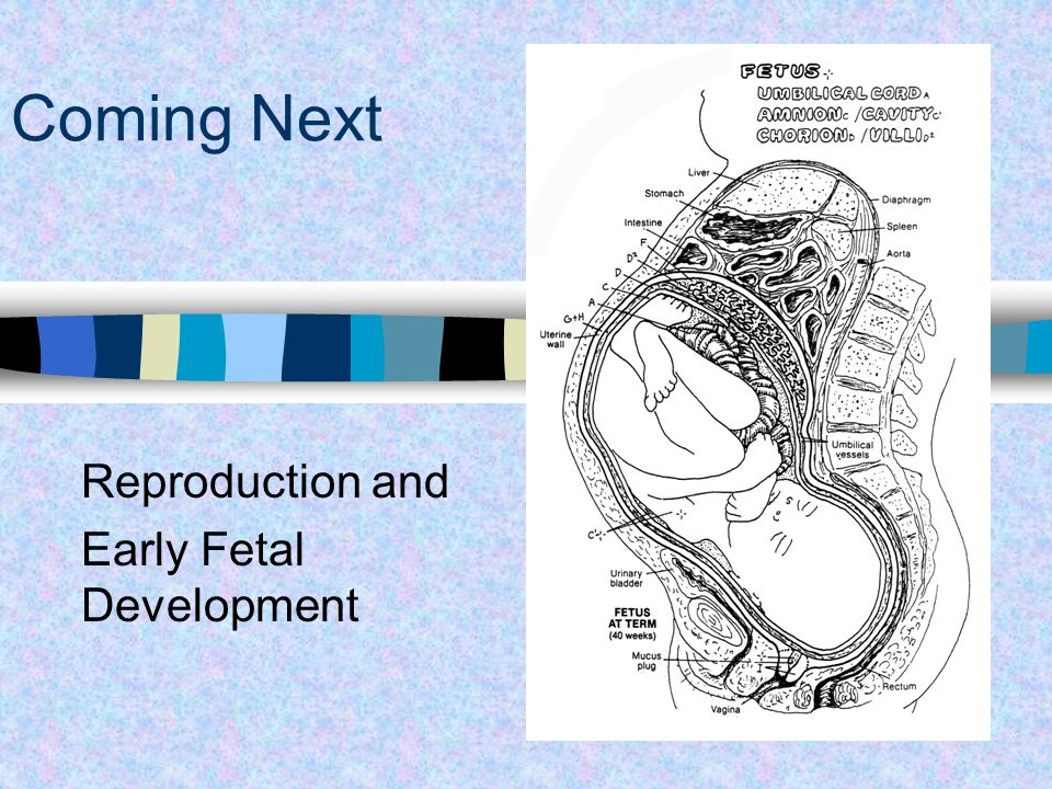 Reproduction and Early Fetal Development