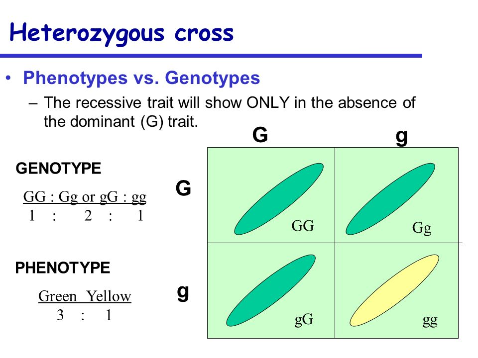Heterozygous cross G g G g Phenotypes vs. Genotypes