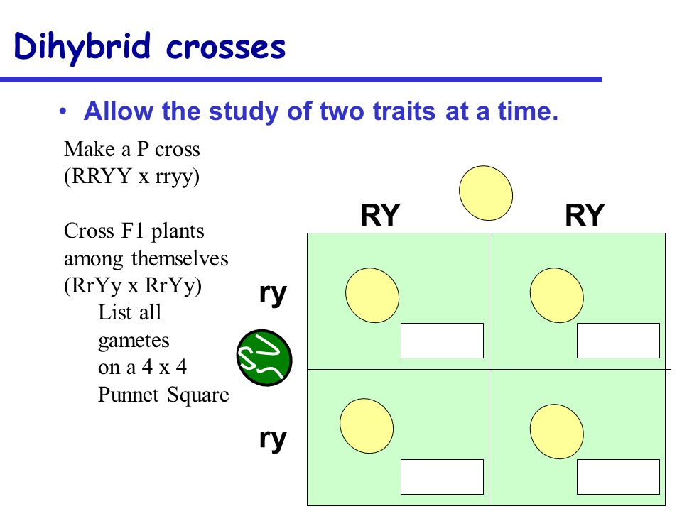 Dihybrid crosses RY RY ry Allow the study of two traits at a time.