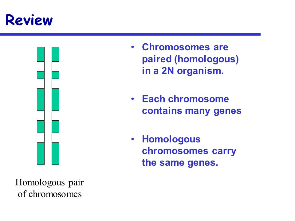 Review Chromosomes are paired (homologous) in a 2N organism.