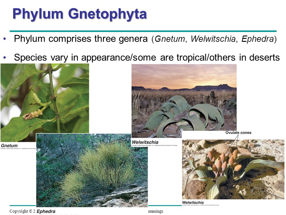 Phylum Gnetophyta Phylum comprises three genera (Gnetum, Welwitschia, Ephedra) Species vary in appearance/some are tropical/others in deserts.