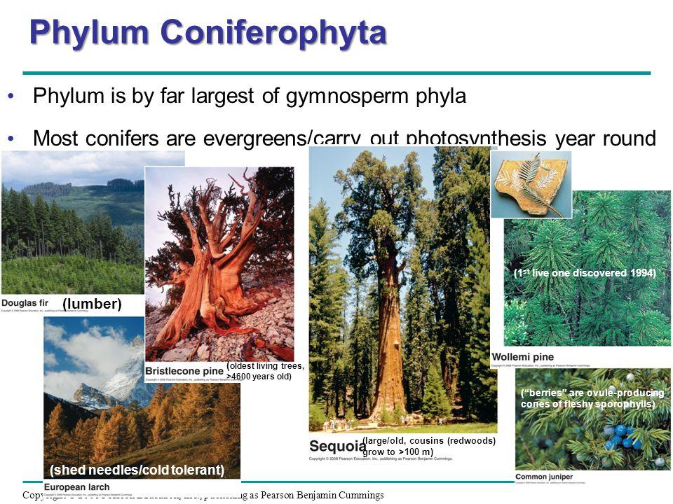 Phylum Coniferophyta Phylum is by far largest of gymnosperm phyla
