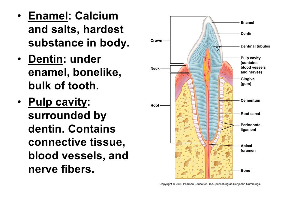 Enamel: Calcium and salts, hardest substance in body.
