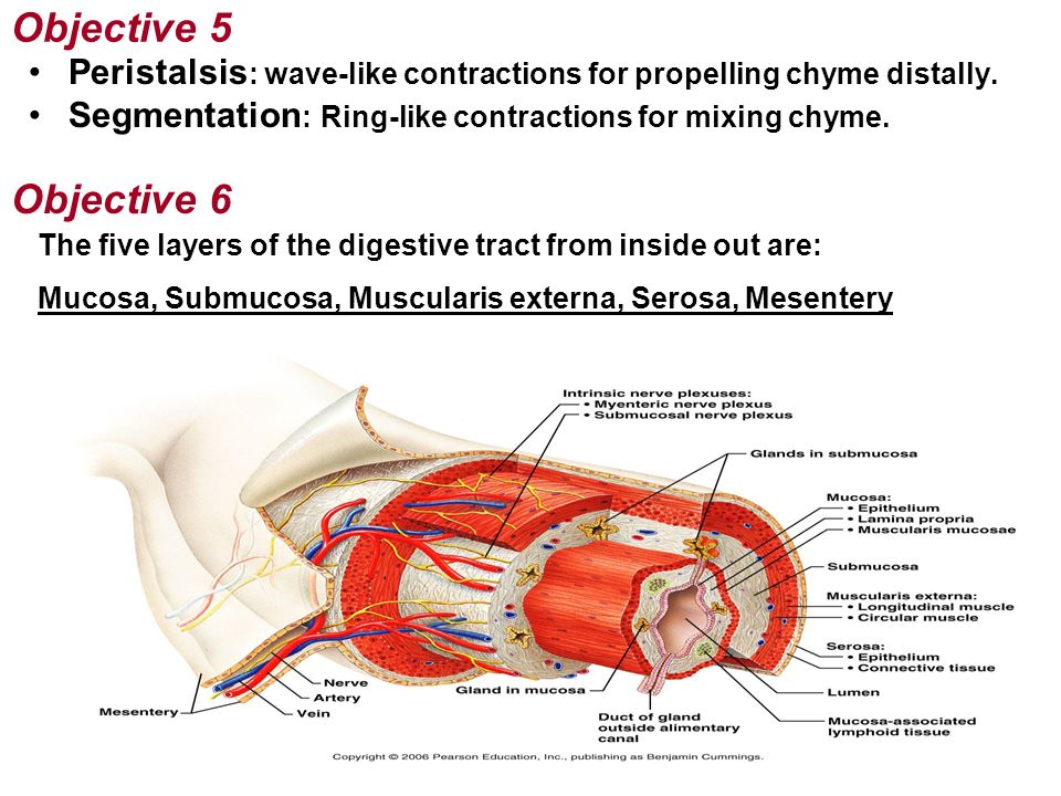 Objective 5 Peristalsis: wave-like contractions for propelling chyme distally. Segmentation: Ring-like contractions for mixing chyme.