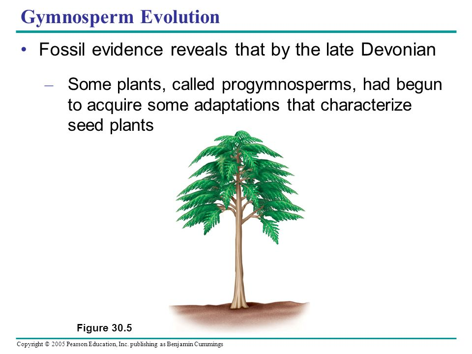 Gymnosperm Evolution Fossil evidence reveals that by the late Devonian