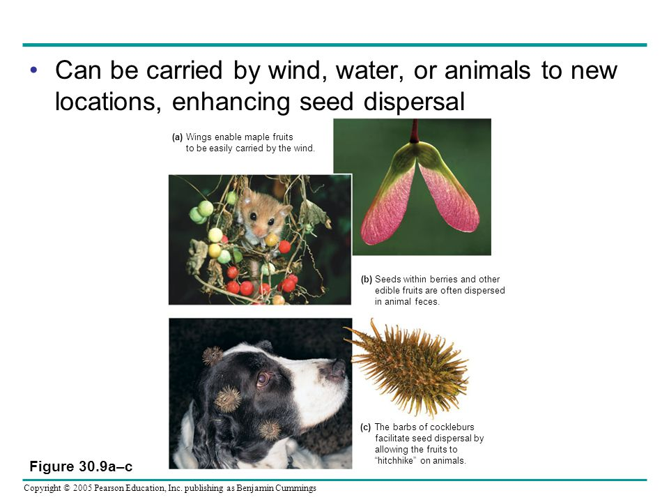 Can be carried by wind, water, or animals to new locations, enhancing seed dispersal