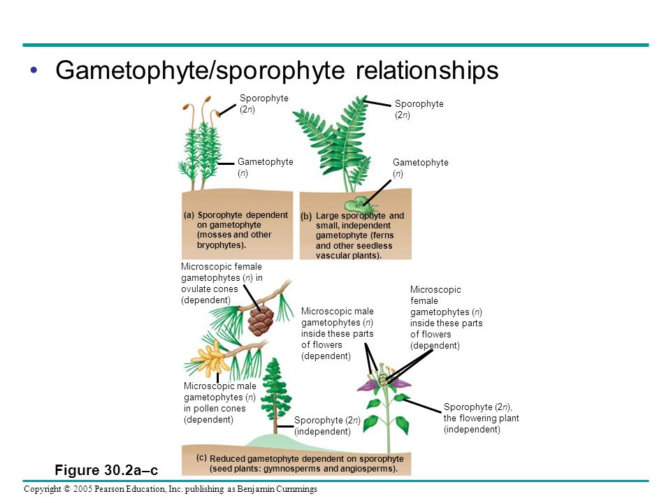 Gametophyte/sporophyte relationships